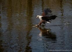 fish-eagle-540-bedford-copyright-photographers-on-safari-com