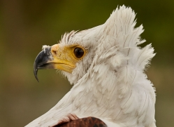 fish-eagle-copyright-photographers-on-safari-com-8286