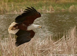 fish-eagle-copyright-photographers-on-safari-com-8288
