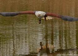 fish-eagle-copyright-photographers-on-safari-com-8290