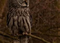 great-grey-owl-559-bedford-copyright-photographers-on-safari-com