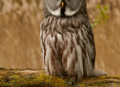 great-grey-owl-copyright-photographers-on-safari-com-8296