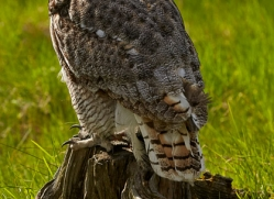 great-horned-owl-copyright-photographers-on-safari-com-8297