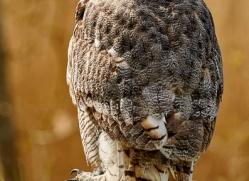 great-horned-owl-copyright-photographers-on-safari-com-8298