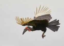 ground-hornbill-copyright-photographers-on-safari-com-8301