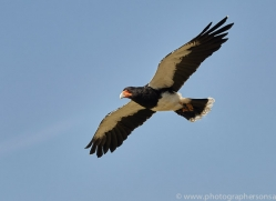 mountain-caracara-copyright-photographers-on-safari-com-8305