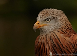 red-kite-558-bedford-copyright-photographers-on-safari-com