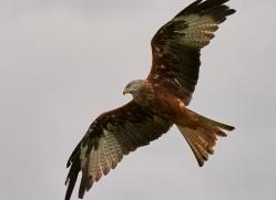 red-kite-copyright-photographers-on-safari-com-8311