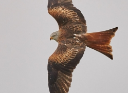 red-kite-copyright-photographers-on-safari-com-8312