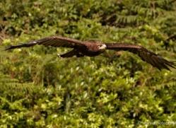 steppe-eagle-555-bedford-copyright-photographers-on-safari-com