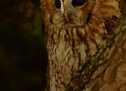 tawny-owl-copyright-photographers-on-safari-com-8313