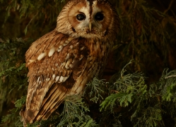 tawny-owl-copyright-photographers-on-safari-com-8315