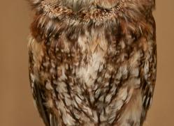 tawny-owl-copyright-photographers-on-safari-com-8316