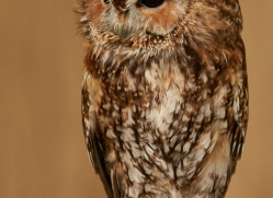 tawny-owl-copyright-photographers-on-safari-com-8317