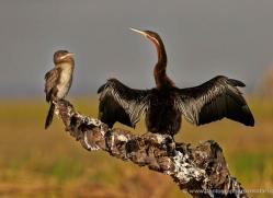 african-darter-4301-botswana-copyright-photographers-on-safari