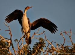 african-darter-4302-botswana-copyright-photographers-on-safari