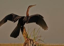 african-darter-4305-botswana-copyright-photographers-on-safari