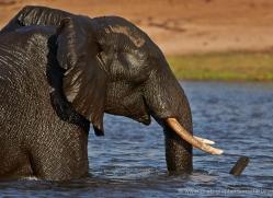 african-elephant-4454-botswana-copyright-photographers-on-safari