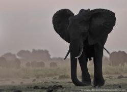african-elephant-4455-botswana-copyright-photographers-on-safari
