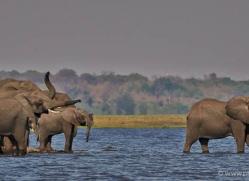 african-elephant-4456-botswana-copyright-photographers-on-safari