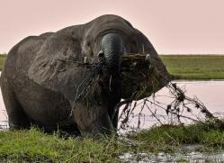 african-elephant-4459-botswana-copyright-photographers-on-safari
