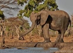 african-elephant-4463-botswana-copyright-photographers-on-safari