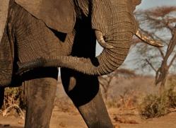 african-elephant-4464-botswana-copyright-photographers-on-safari