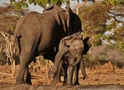 african-elephant-4467-botswana-copyright-photographers-on-safari