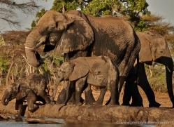 african-elephant-4472-botswana-copyright-photographers-on-safari