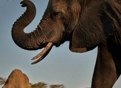 african-elephant-4473-botswana-copyright-photographers-on-safari