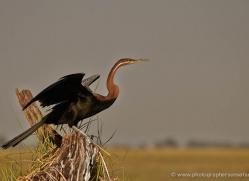african-darter-4304-botswana-copyright-photographers-on-safari