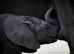 african-elephant-4453-botswana-copyright-photographers-on-safari