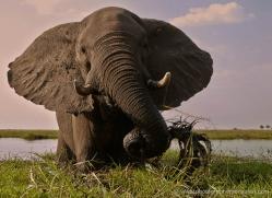 african-elephant-4461-botswana-copyright-photographers-on-safari