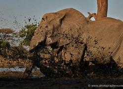 african-elephant-4466-botswana-copyright-photographers-on-safari