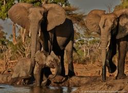 african-elephant-4471-botswana-copyright-photographers-on-safari