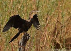 African Darter 2014-1copyright-photographers-on-safari-com