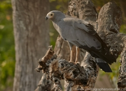 African Harrier Hawk 2014-1copyright-photographers-on-safari-com