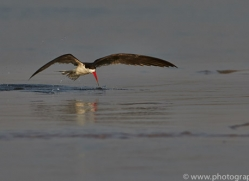 African Skimmer 2014-1copyright-photographers-on-safari-com
