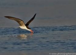 African Skimmer 2014-2copyright-photographers-on-safari-com