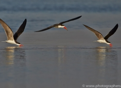 African Skimmer 2014-3copyright-photographers-on-safari-com
