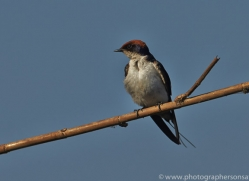 Barn Swallow 2014-1copyright-photographers-on-safari-com