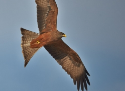 Black Kite 2014-1copyright-photographers-on-safari-com