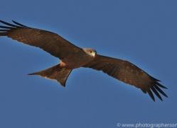 Black Kite 2014-2copyright-photographers-on-safari-com