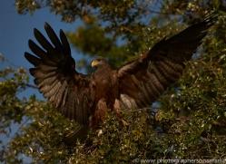 Black Kite 2014-3copyright-photographers-on-safari-com