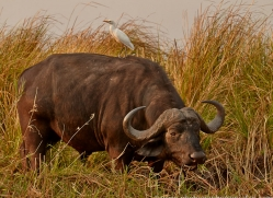 Buffalo 2014-1copyright-photographers-on-safari-com