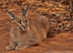 Caracal 2014-1copyright-photographers-on-safari-com