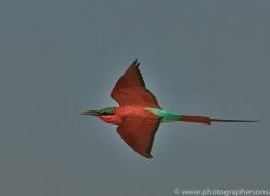 Carmine Bee-eater 2014-2copyright-photographers-on-safari-com