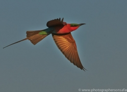 Carmine Bee-eater 2014-3copyright-photographers-on-safari-com