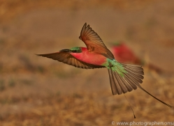 Carmine Bee-eater 2014-4copyright-photographers-on-safari-com