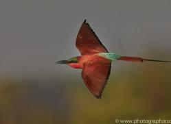 Carmine Bee-eater 2014-5copyright-photographers-on-safari-com